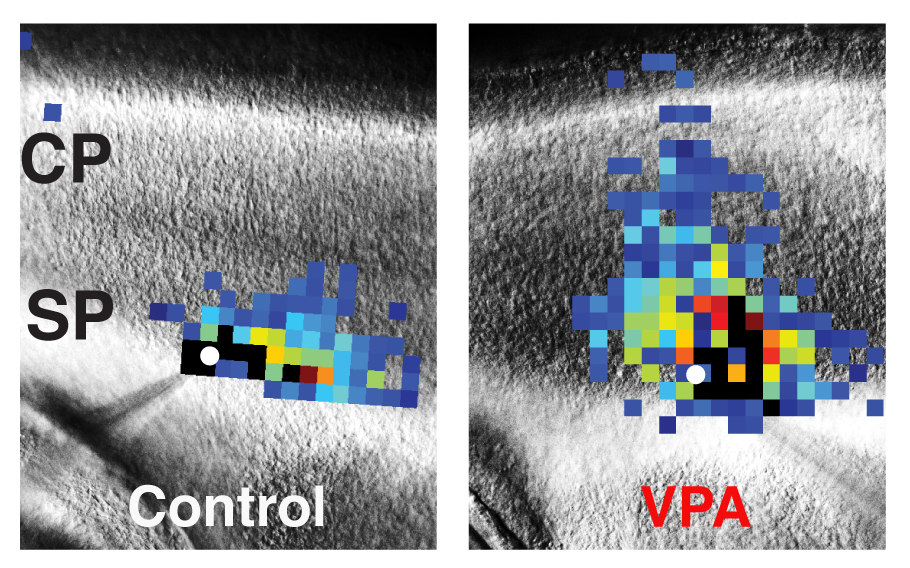 These images of mouse brains compare laser scanning photostimulation maps of all the neurons connected to one central neuron in control mice (left) vs. mice dosed with valproic acid (VPA) to induce autism-like symptoms (right). The researchers focused on neurons in the subplate (SP) region, directly below the developing cortex (CP, or cortical plate), which controls perception and behavior. The central neuron is marked in white, and each colored square represents a neuron that has a direct synaptic connection to the central neuron. Reds and oranges represent stronger connections compared with greens and blues, indicating that subplate neurons in VPA-treated mice form numerous strong connections early in development. Image Credit: Daniel Nagode/Patrick Kanold