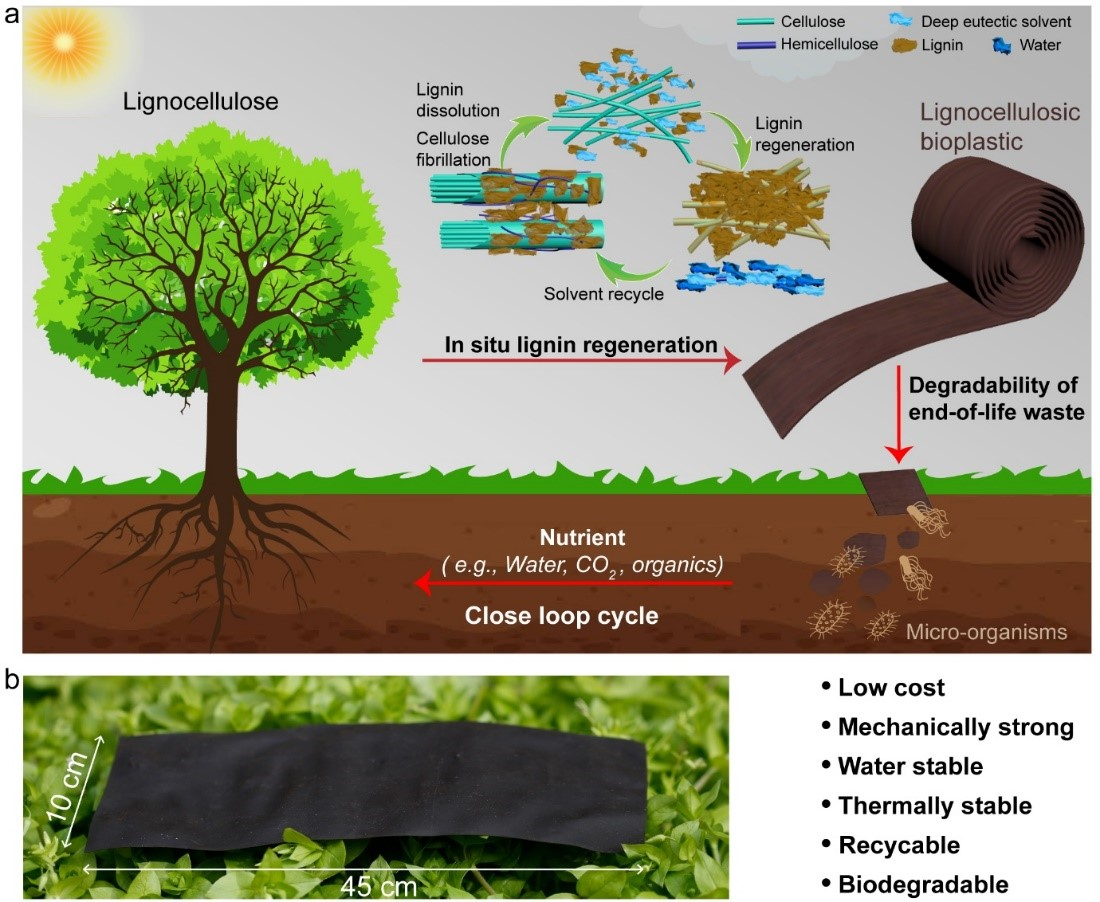 The preparation of high-performance lignocellulosic bioplastic and its degradation, resulting in a close loop cycle. Credit: Qinqin Xia for the University of Maryland, College Park.