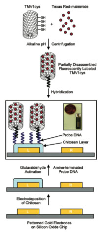 Diagram for the DNA probe directed assembly of TMV1cys nanotemplates onto a readily addressable site. L and R represent left and right electrodes. Inserted picture shows an actual chip.