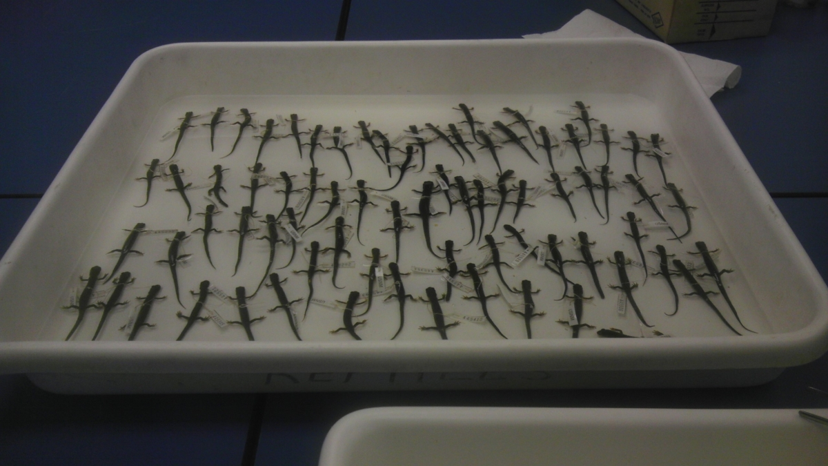 This tray full of northern-cheeked salamanders, collected decades ago by Prof. Richard Highton, are stored in a Smithsonian Institution in Suitland, MD Karen Lips and colleagues used them to show that Appalachian salamander species are getting smaller in response to climate change.
