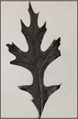 Scientists baked a leaf to demonstrate a battery.