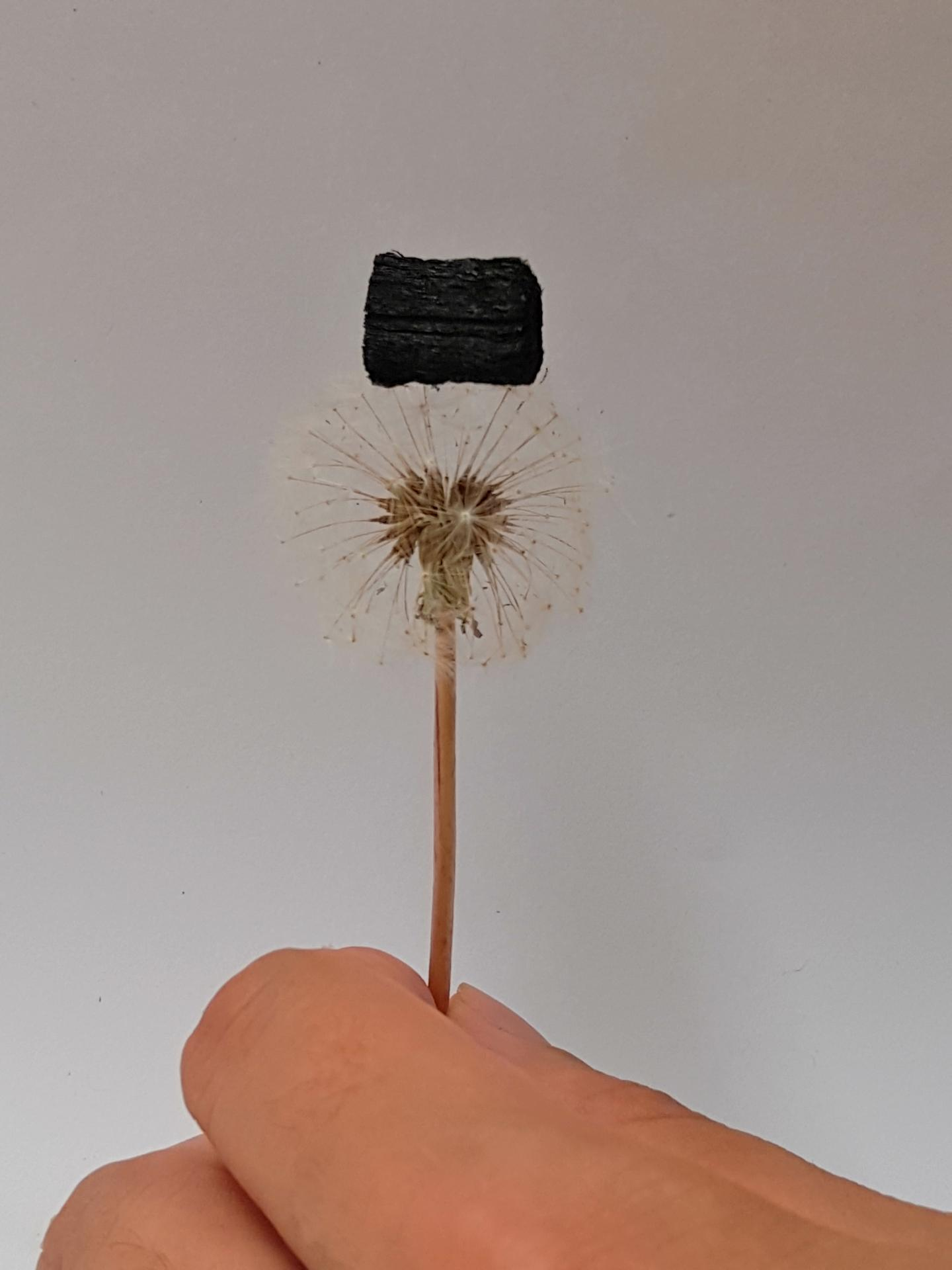 Image: A single wood carbon sponge is light enough to balance atop a dandelion seed head.