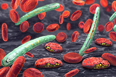 Malaria-causing Plasmodium parasites, shown in green, infect red blood cells.(Illustration by iStock)