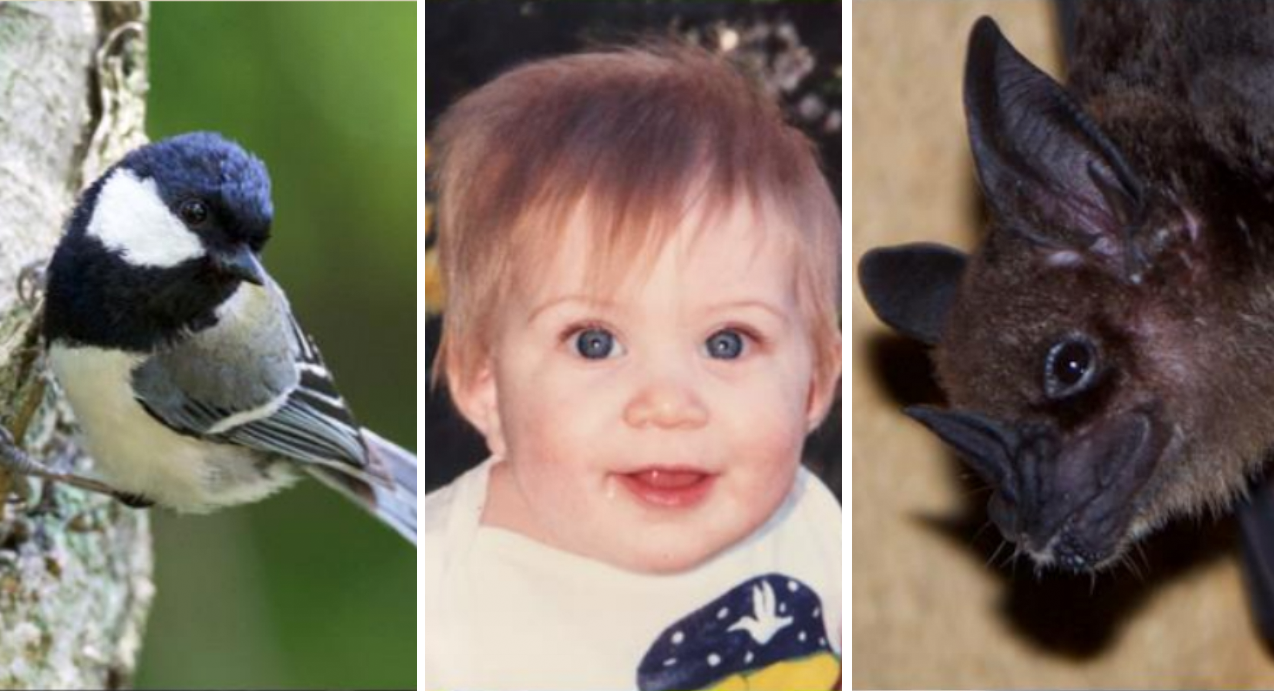 Examples of animals with different types of vocal learning abilities. From left, the Japanese tit (credit: T. Suzuki), an 8-month old human (credit: G. Wilkinson), and a greater spear-nosed bat (credit: G. Wilkinson).