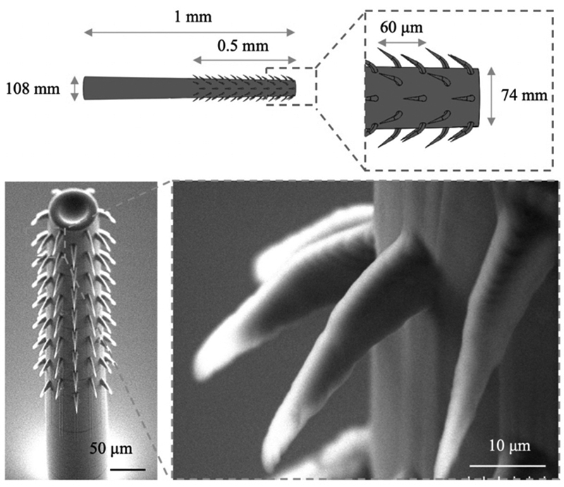[Click photo for larger image] Schematic with dimensions (top) and scanning electron microscope (SEM) images (bottom) of a barbed microneedle fabricated via 3-D DLW. The zoomed-in image depicts the high-fidelity fabrication of the curved barbs with sharp tips (~ 1 μm resolution). Figure 2 from the IEEE MEMS 2020 paper, Biomimetic Barbed Microneedles for Highly Robust Tissue Anchoring.