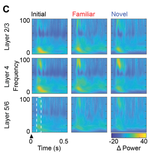 Heat map depicting the power of rhythmic oscillations in the visual cortex (by frequency, vertical axis) over time post visual stimulation (arrowhead, horizontal axis). Following repetitive high frequency stimulation, simple familiar and novel visual stimuli evoked an increase in the power of high frequency oscillatory activity.