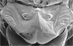The type of fly ear used in Miao Yu's research. Photo courtesy of Miao Yu.