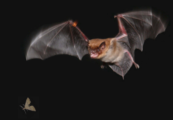 An echolocating bat (Eptesicus fuscus) pursuing and attempting to capture a moth in dark in the flight room of the Auditory Neuroethology Laboratory at the University of Maryland. The picture is provided courtesy of Professor Cynthia Moss. The photograph was taken by Ms. Jessica Nelson with a still camera.