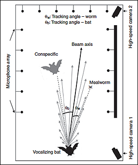 This schematic from the article shows sonar beam pattern reconstruction for one bat. The vocalizing bat (color black) produced one vocalization. Each gray vector shows the intensity of this sonar emission received by each microphone on the array, and the direction of the sonar beam axis (thick black vector) indicates the direction of acoustic gaze. The sonar beam axis is the sum of these 16 intensity vectors. The tracking angle to the bat is the angle between the other bat and the sonar beam axis, while the tracking angle to the worm is the angle between the tethered mealworm and the sonar beam axis.
