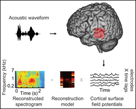 Participants listened to words (acoustic waveform, top left), while neural signals were recorded from cortical surface electrode arrays (top right, red circles) implanted over superior and middle temporal gyrus (STG, MTG). Speech-induced cortical field potentials (bottom right, gray curves) recorded at multiple electrode sites were used to fit multi-input, multi-output models for offline decoding. The models take as input time-varying neural signals at multiple electrodes and output a spectrogram consisting of time-varying spectral power across a range of acoustic frequencies (180–7,000 Hz, bottom left). To assess decoding accuracy, the reconstructed spectrogram is compared to the spectrogram of the original acoustic waveform. Photo courtesy PLoS Biology.