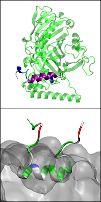 Above: A model of the full Osh4 protein with the ALPS-like motif highlighted in purple and blue. Below: The ALPS-like motif embedded on a charged membrane (bulk shown in grey) and interacting with its lipid headgroups.
