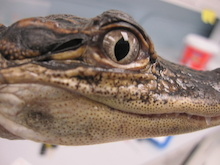 Alligator that participated in a University of Maryland study that found that the alligator's ear is strongly directional because of large, air-filled channels connecting the two middle ears. The earflap opening behind the alligator's eye can be seen clearly in this photo.   Photographer: Hilary Bierman