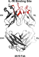 3-D structure of one of the antibodies that targets the IL-7R. The loops of the antibody that are predicted to bind the IL-7R are colored red.